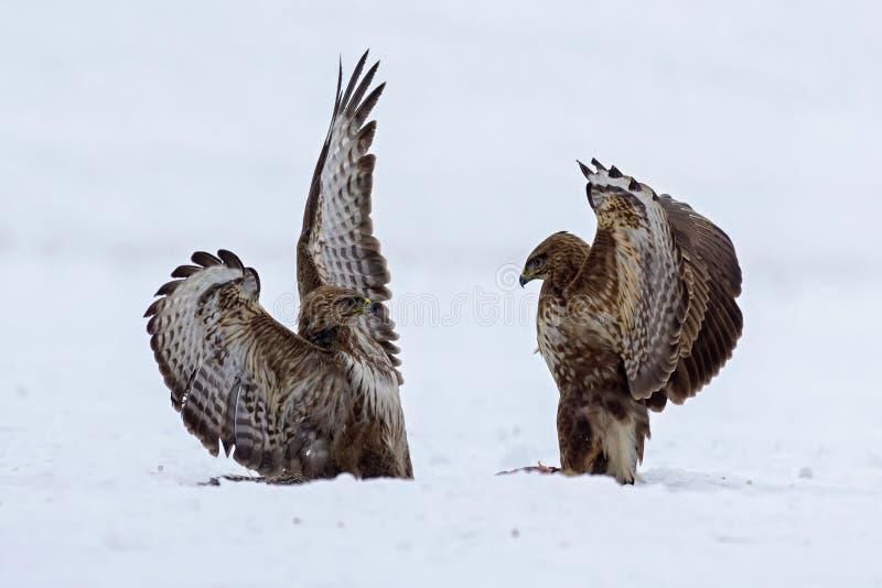 Demostración de la fuerza entre los pájaros depredadores fotografía de archivo libre de regalías