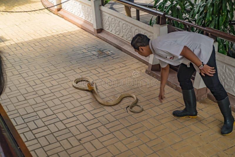 Demostración de la serpiente en la ciudad Tailandia de Bangkok de la granja de la serpiente de Tailandia fotografía de archivo