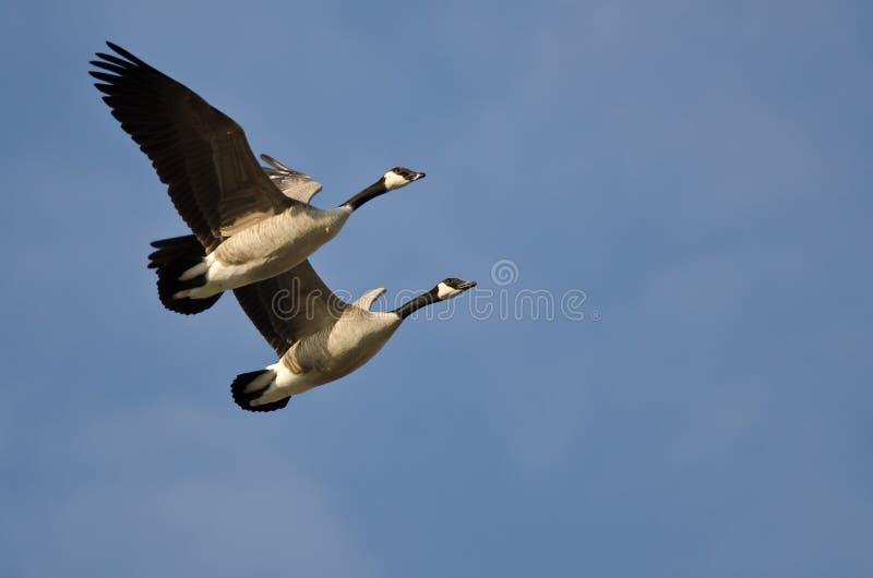 Demostración que vuela sincronizada por un par de gansos de Canadá imagen de archivo