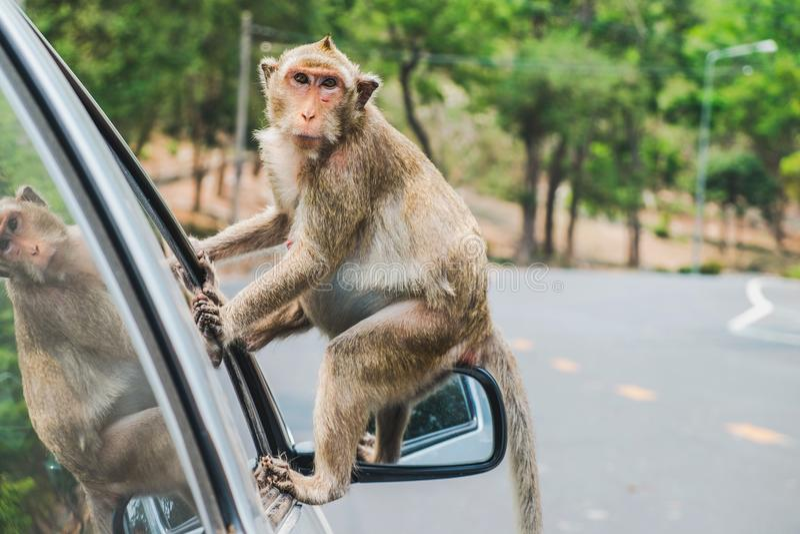 Denäta macaquen, apasammanträde på spegeln för sida för bil` s fotografering för bildbyråer