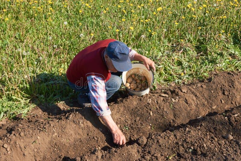 Den äldre mannen sätter en potatis från en hink för att plantera in i jord i en trädgårds- säng royaltyfri bild