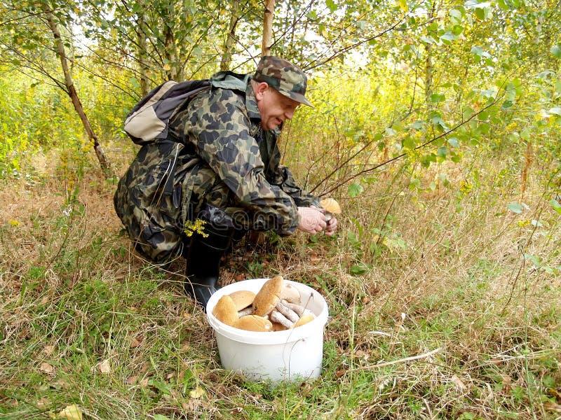 Den äldre mannen samlar champinjoner i trät arkivbilder