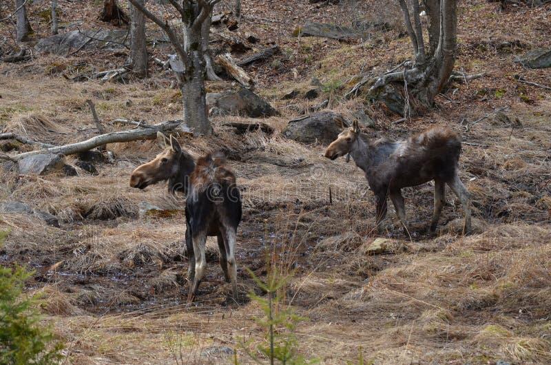 Den älgkon och kalven i det löst - lagerföra bilden royaltyfria foton
