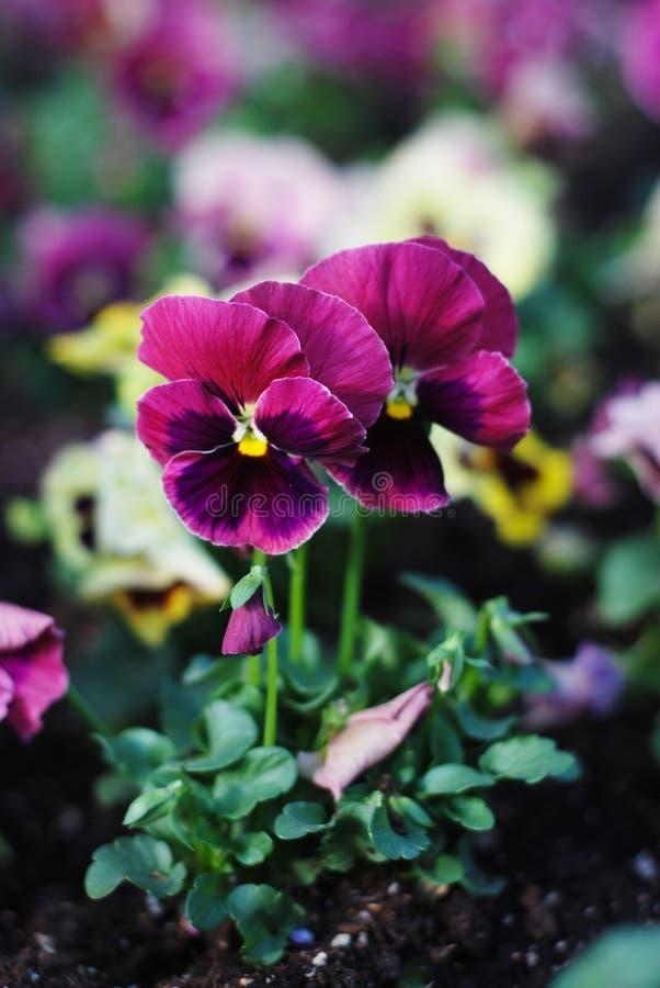 Den älskvärda blåttvårträdgården blommar Pansy Isoalted Sun arkivfoto