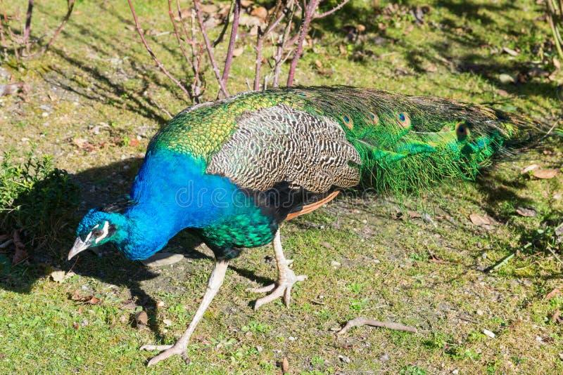 Den älskvärda påfågeln i parkerar fotografering för bildbyråer