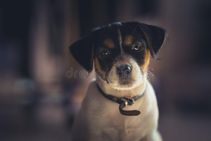 Den älskvärda valpen ser söt Fullblods- Jack Russell terrier arkivfoto