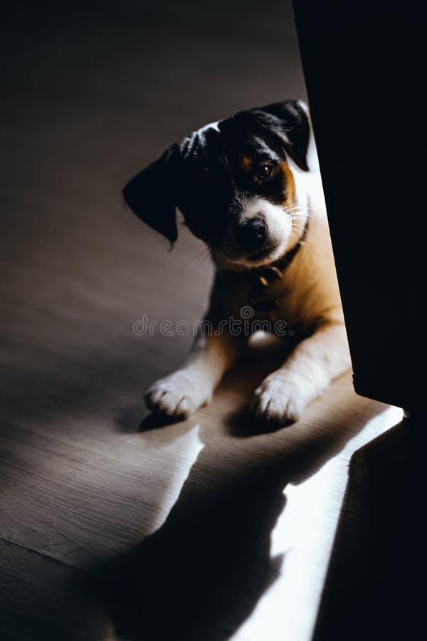 Den älskvärda valpen ser den söta fullblods- stålarrussell terriern kelade till en stor hund fotografering för bildbyråer