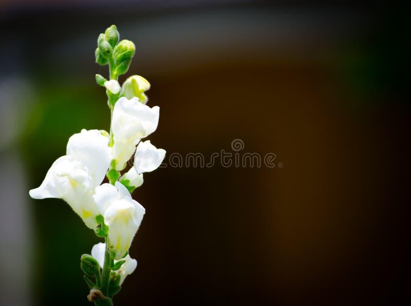 Den älskvärda vita lejongapväxten blommar på en botanisk trädgård arkivfoto