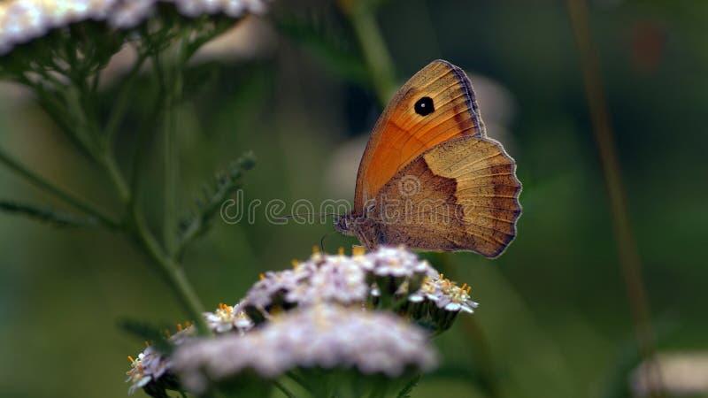 Den ängbruntManiola jurtinaen, en bretty fjäril royaltyfri bild