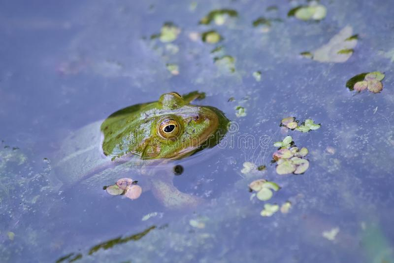 Den ätliga grodan håller ögonen på från vattnet i sjön royaltyfria foton