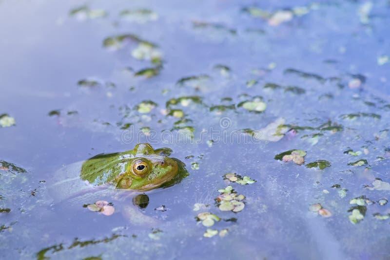 Den ätliga grodan håller ögonen på från vattnet i sjön royaltyfri bild