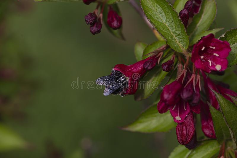 Den åtsittande passformen för ett stort stapplar biet arkivfoto