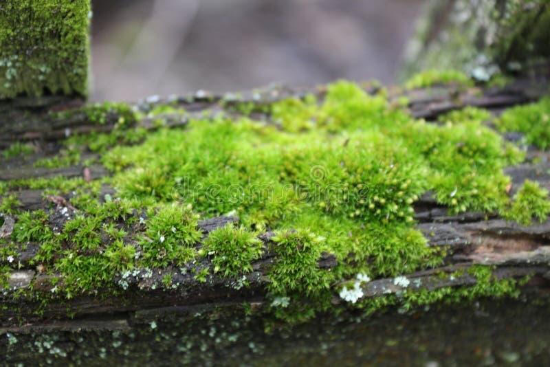 Den öde trädgården Ett träd som täckas med grön mossa textur Natur Ett ovanligt träd Skället av trädet är skadat vid mossa Li royaltyfria bilder