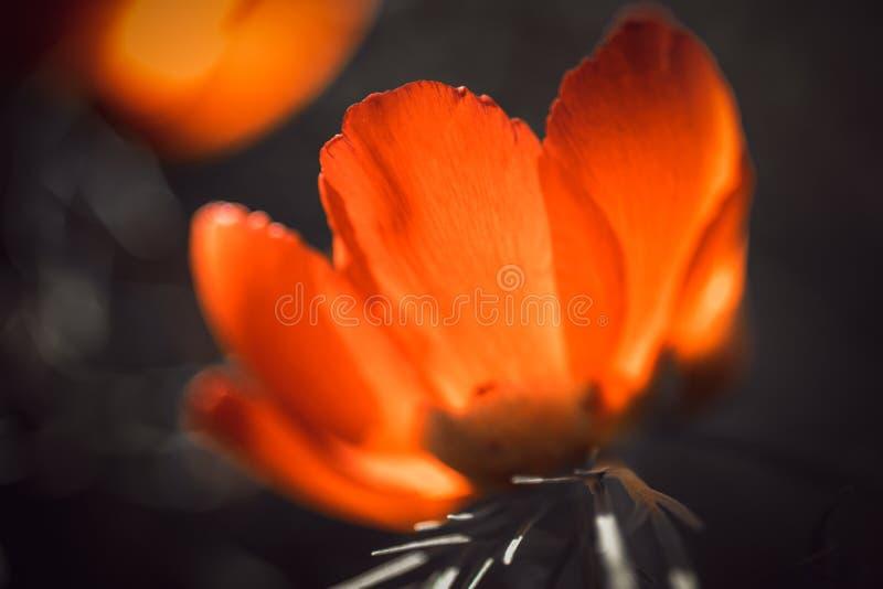 Den öppna knoppen av den röda pionen som växer i trädgården, närbild, solen, skiner till och med kronbladen royaltyfri bild