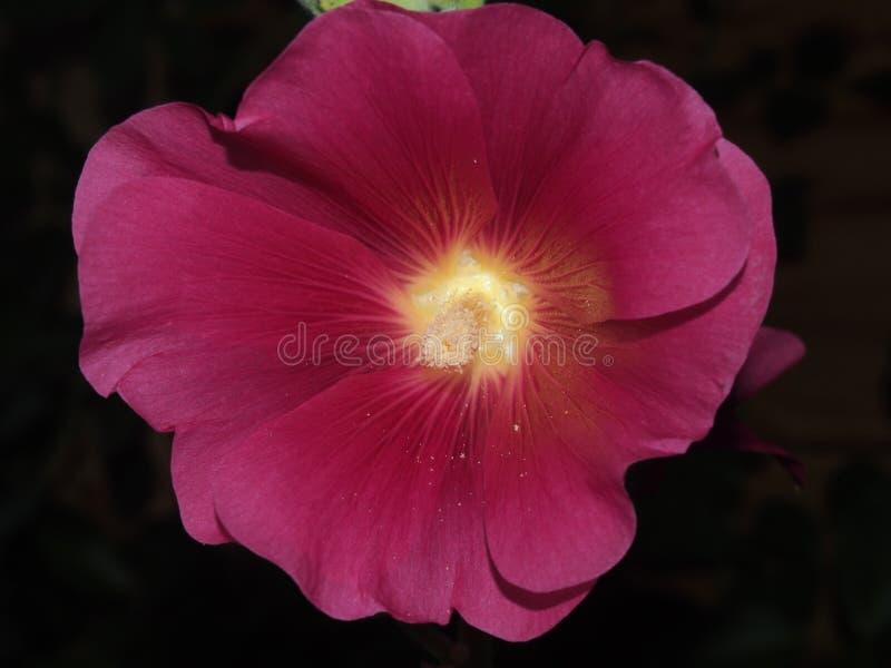 Den öppnade knoppen av malvan röda blommapetals blodsugare royaltyfria foton