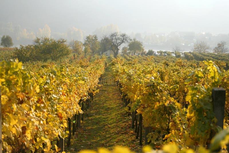 den Österrike druvan rows vines royaltyfri fotografi