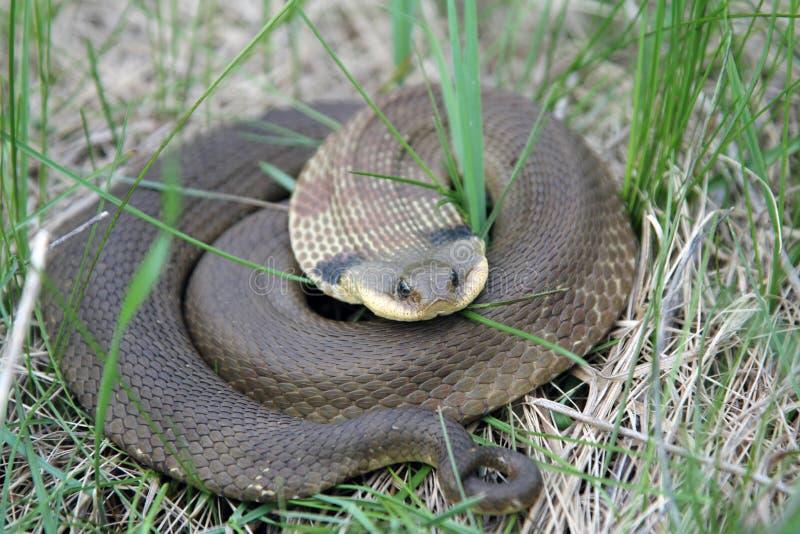 Den östliga Hognose ormen rullade ihop royaltyfri bild