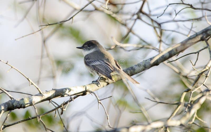 Den östliga Phoebe fågeln sätta sig i trädet, Georgia, USA royaltyfria bilder