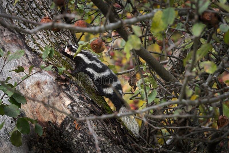 Den östliga Spilogaleputoriusen för prickig skunk klättrar upp det Apple trädet arkivfoto