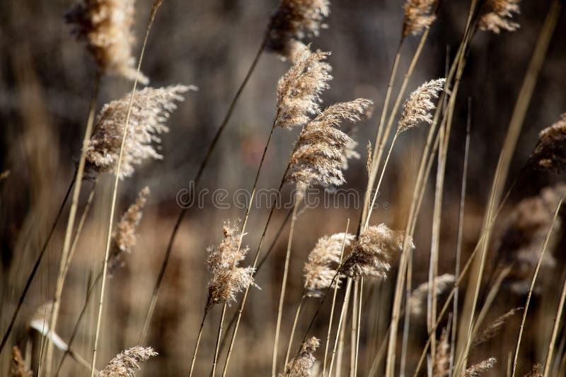 Den abstrakta eftermiddagen för bakgrundsbeskyddvåren bryner högväxt gräs royaltyfria foton