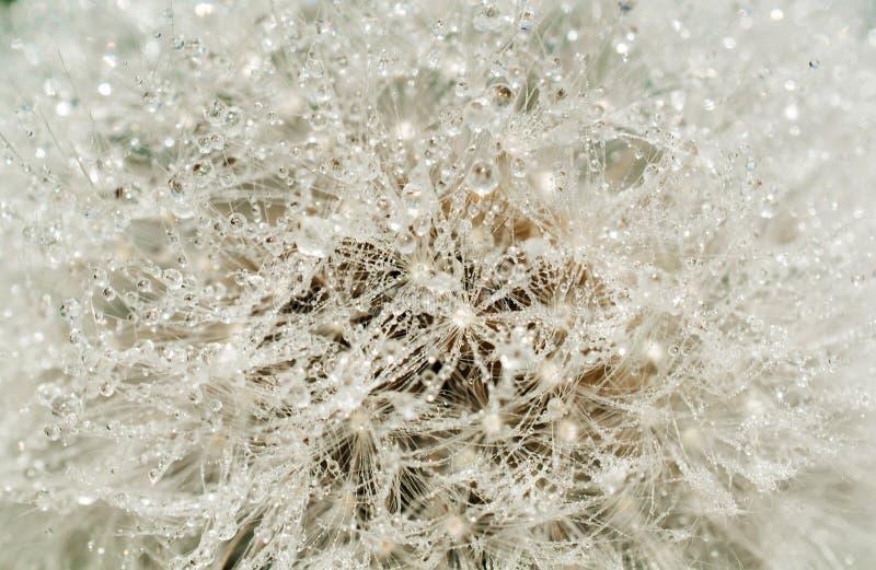 Den abstrakta maskrosblomman med vatten tappar bakgrund, closeup arkivfoto