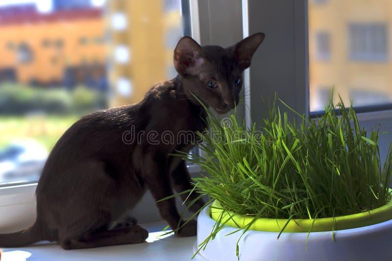 Den Abyssinian katten med gröna ögon äter gräs royaltyfria bilder