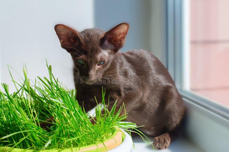 Den Abyssinian svarta katten med gröna ögon äter gräs arkivbild