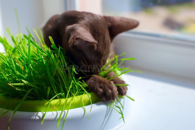 Den Abyssinian svarta katten med gröna ögon äter gräs royaltyfri foto