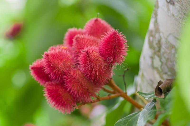 Den Achiote växten eller Annattoväxtfrö från dessa taggiga röda fröskidor används för att smaksätta och naturlig färg, också anvä royaltyfria foton