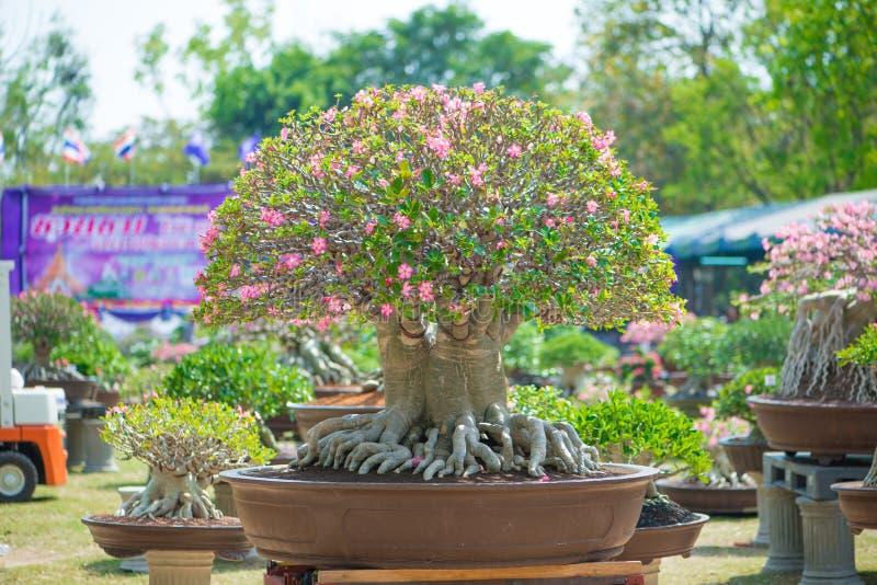 Den Adeniumträdet eller öknen steg i blomkruka arkivfoton