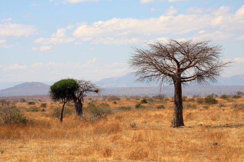 den afrikanska baobabsavannaen gör treen tunnare arkivbild
