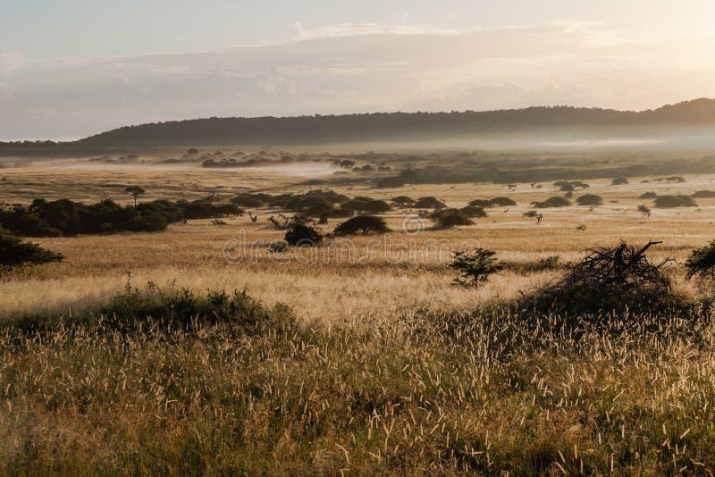 Den afrikanska Bush savannaen plattar till soluppgångmist fotografering för bildbyråer