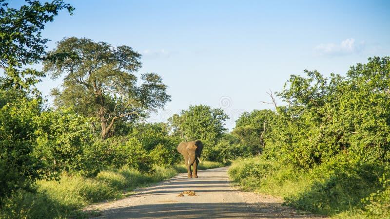 Den afrikanska buskeelefanten som går på en slinga i busken i Kruger, parkerar, Sydafrika royaltyfria bilder