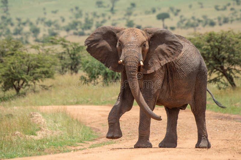 Den afrikanska elefanten lyfter foten, medan korsa spåret arkivfoto