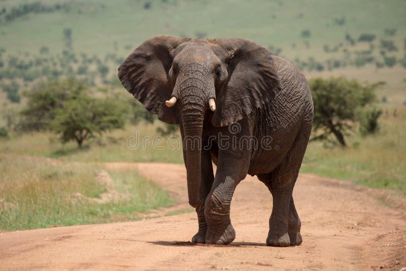 Den afrikanska elefanten lyfter foten, medan korsa spåret royaltyfria foton