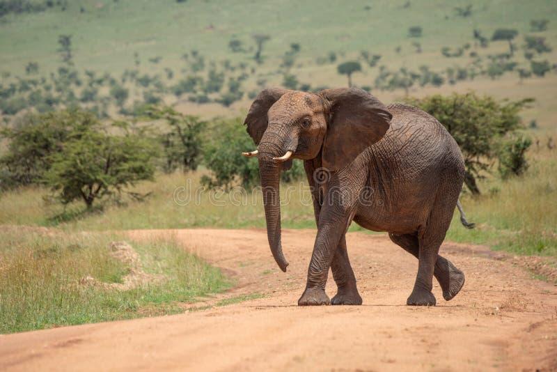 Den afrikanska elefanten lyfter huvudet, medan korsa spåret royaltyfria bilder