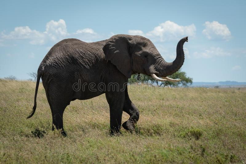 Den afrikanska elefanten lyfter stammen, medan korsa savannahen arkivbild