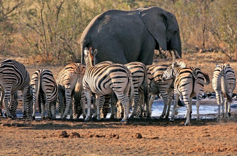 Elefant och sebra på waterhole royaltyfri foto
