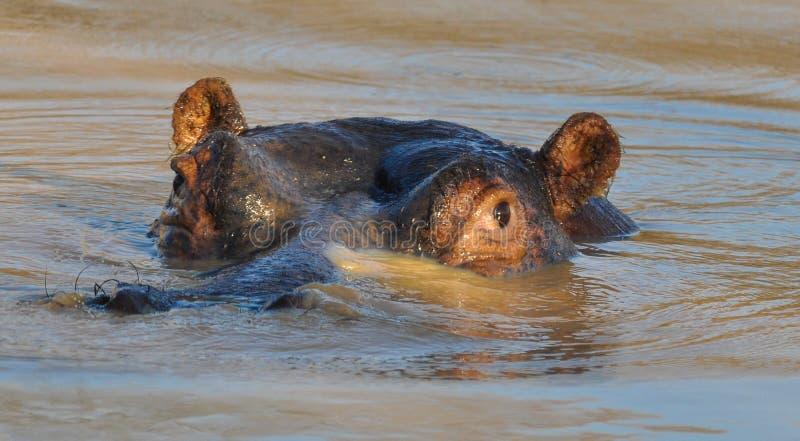 Den afrikanska flodhästflodhästamphibiusen doppade delvist i vatten royaltyfri bild