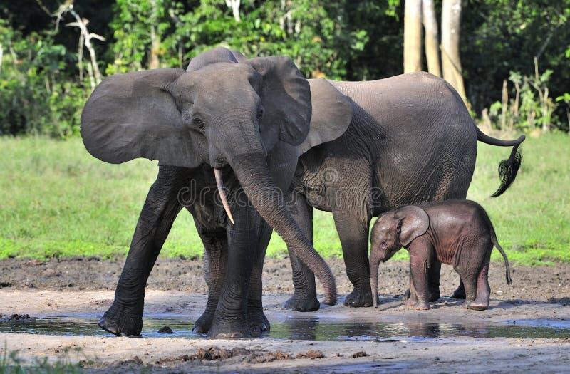 Den afrikanska Forest Elephant, Loxodontaafricanacyclotis, (skogboningelefanten) av Kongoflodenhandfatet På den Dzanga saltdammet arkivfoton