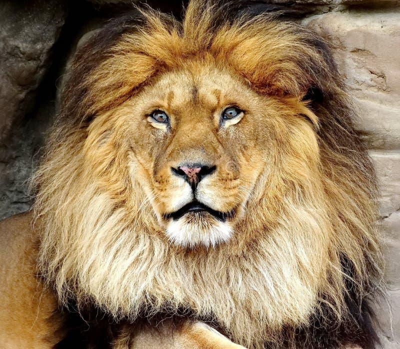 Den afrikanska lejonlaten leo panthera Manliga lejon har en stor man av tjockt hår upp till 40 cm royaltyfri foto