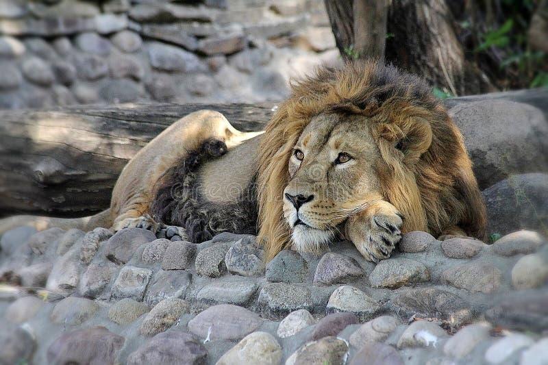 Den afrikanska lejonlaten Pantheraen leo vilar under skuggan av ett träd Konungen av fän vilar Manliga lejon har en stor man arkivfoton
