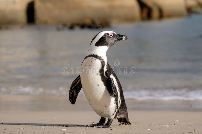 Den afrikanska pingvinet på stenblock sätter på land i Simonstown, Cape Town, Sydafrika arkivfoton