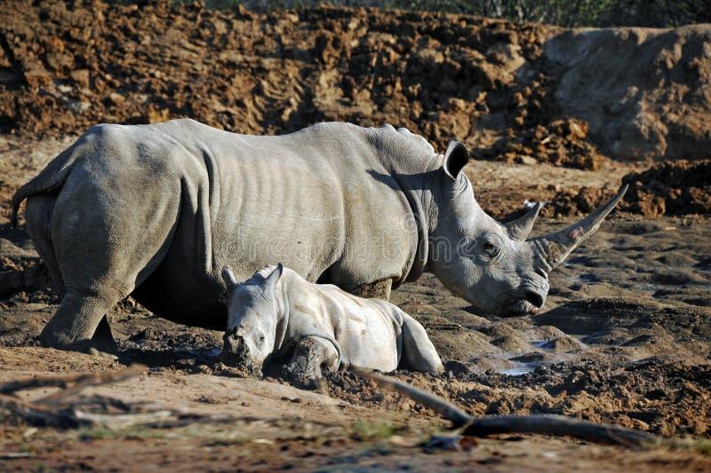 Den afrikanska vita noshörningmodern och behandla som ett barn arkivfoton