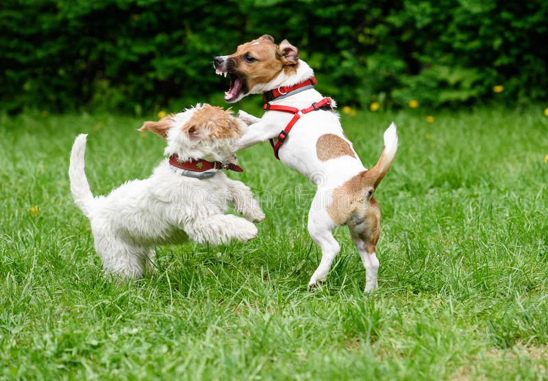 Den aggressiva hunden hotar en annan hund med hiskeliga huggtänder fotografering för bildbyråer