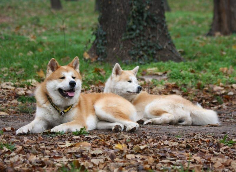 Den Akita hundkapplöpningen parkerar offentligt arkivfoto