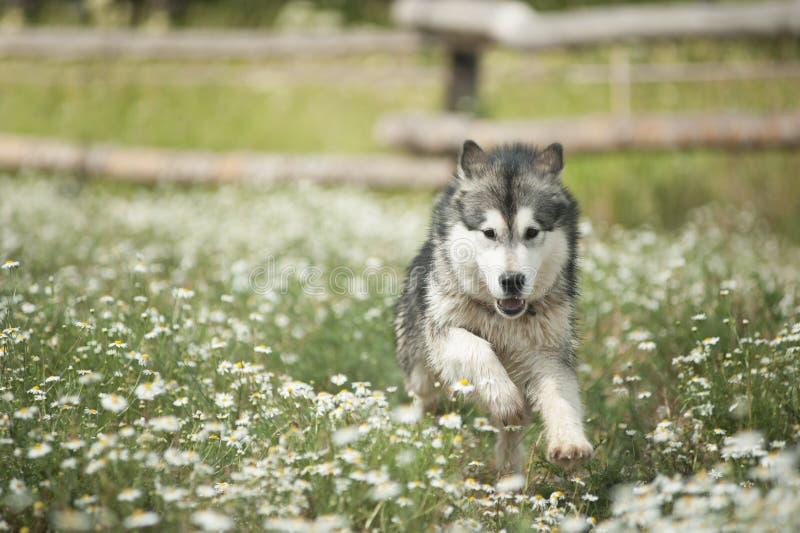 Den alaskabo malamuten kör lyckligt på semester i sommaren royaltyfri bild