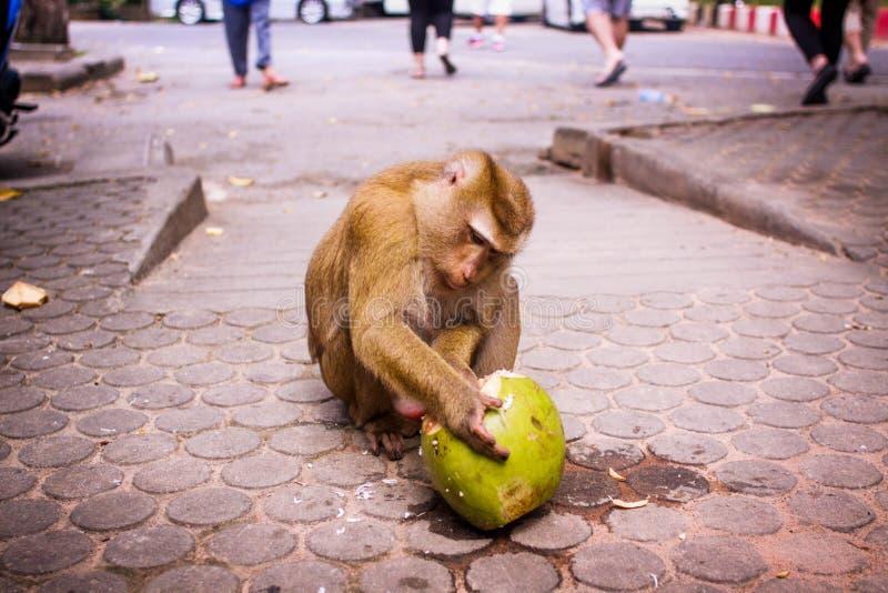 Den allvarliga apan äter middag kokosnöten arkivbilder