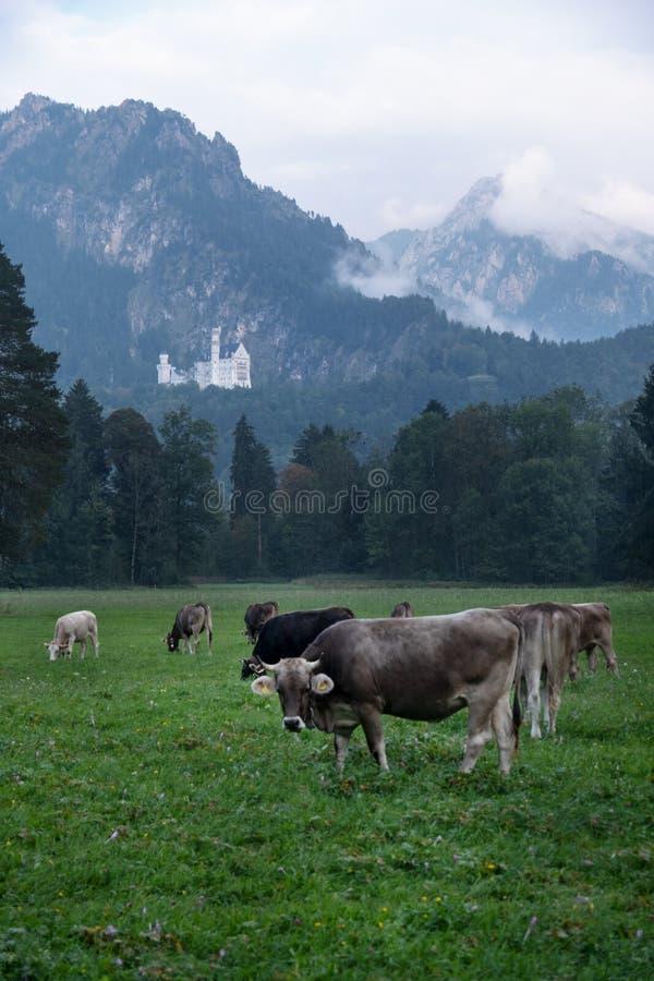 Den alpina ängen, betar, kor med horn, samlas framme av skogen, granträd, i bakgrunden den berömda Neuschwanstein slotten royaltyfri bild