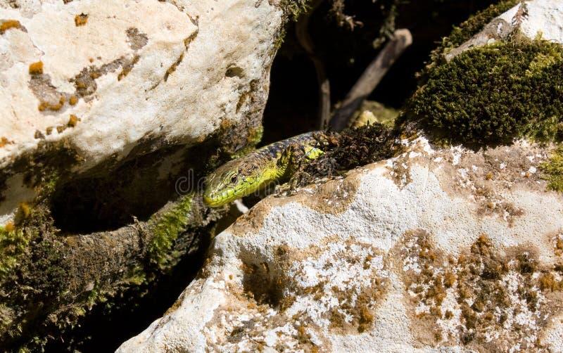 Den alpina ödlan bland vaggar royaltyfri foto